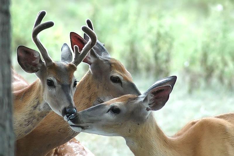 deer dsC_0116