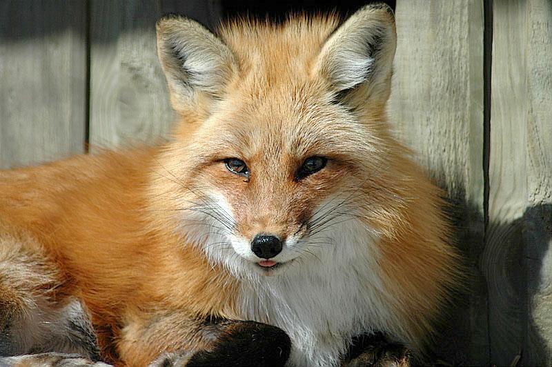 fox_DSC_1994