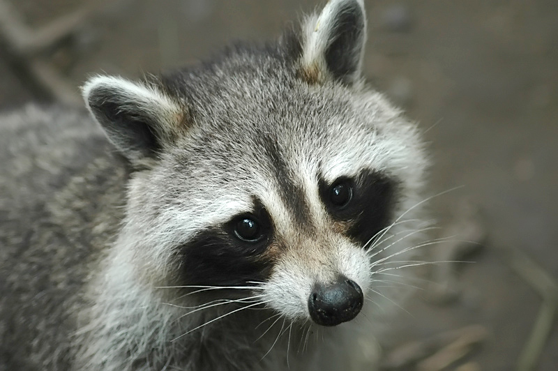 raccoon_DSC_4799